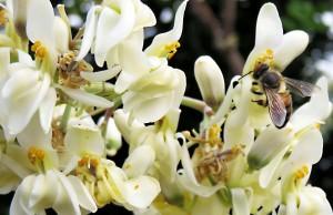 Moringa Honey Australia